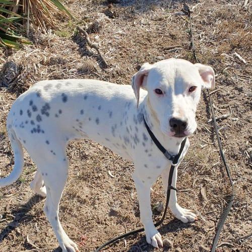 Chase - Bullmastiff Dog