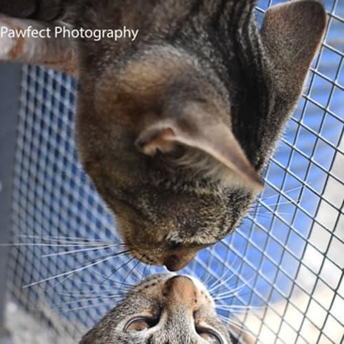 Whisper - Domestic Short Hair Cat