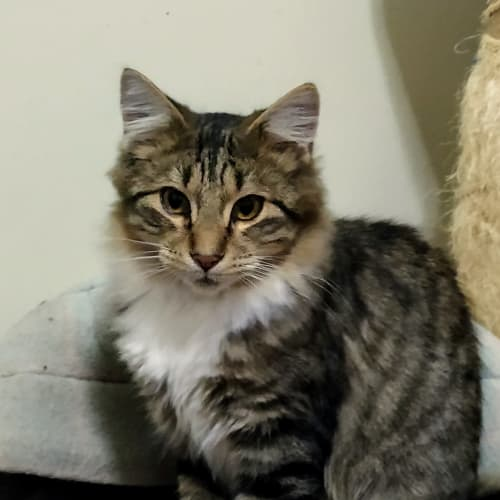Harley - sweet floofer Adoption fee reduced - Domestic Medium Hair Cat
