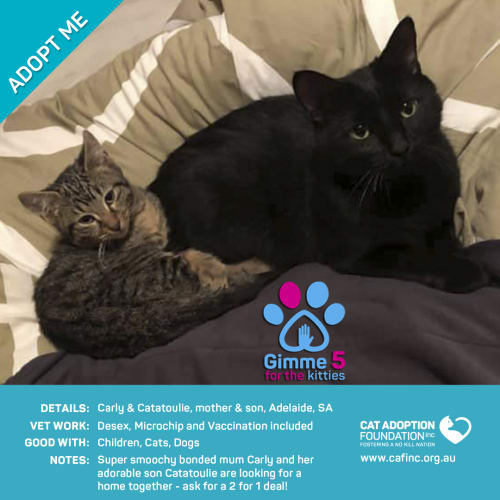 Carly and Catatoulie - Domestic Short Hair Cat