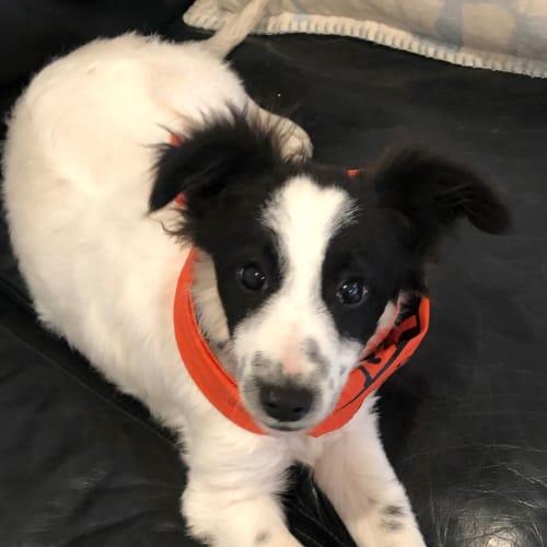 Baer - Border Collie Dog