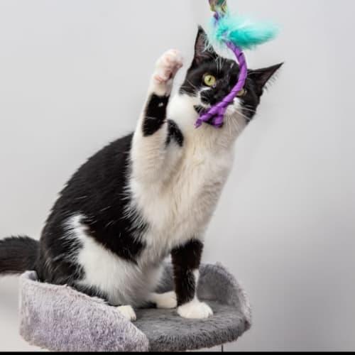 AK3103 - Jemima Puddleduck - Domestic Short Hair Cat