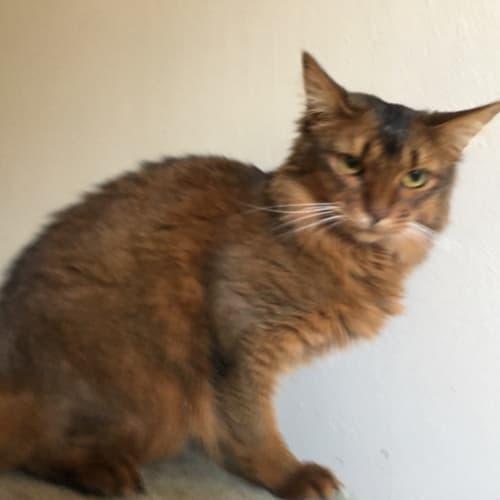 Minnie  - Somali Cat