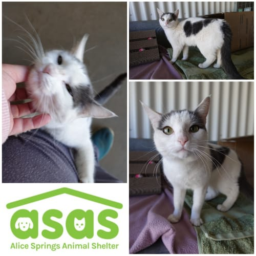 Buttons  CT19-190 - Domestic Short Hair Cat