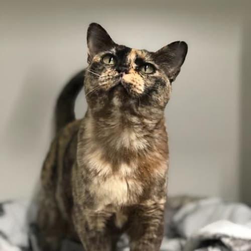 Truffles - Burmese Cat