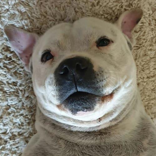 Rocky - Staffordshire Bull Terrier Dog