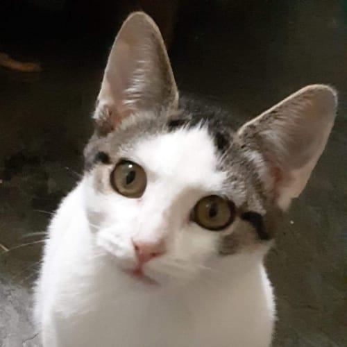 Mr Tickles  - Domestic Short Hair Cat