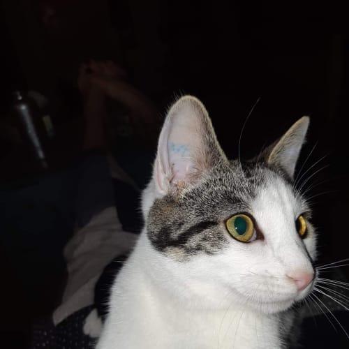 Merriweather - Domestic Short Hair Cat