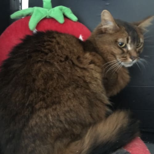 Pudding - Somali Cat