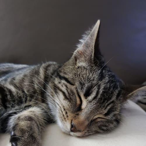 Angela - Domestic Short Hair Cat