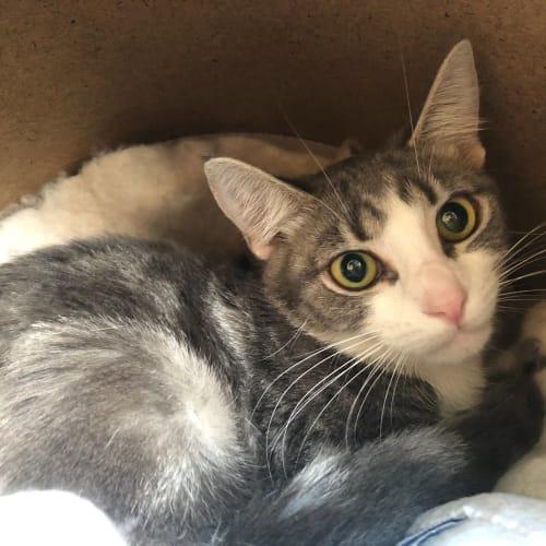 Mally - Domestic Short Hair Cat