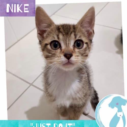 Nike - Domestic Short Hair Cat