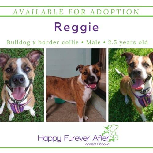 Reggie - Australian Bulldog