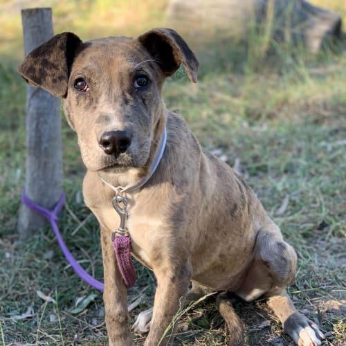 Claudia - Great Dane Dog