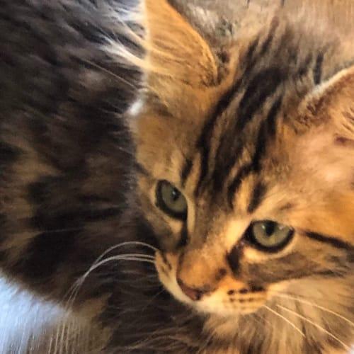 Chewy - Domestic Medium Hair Cat
