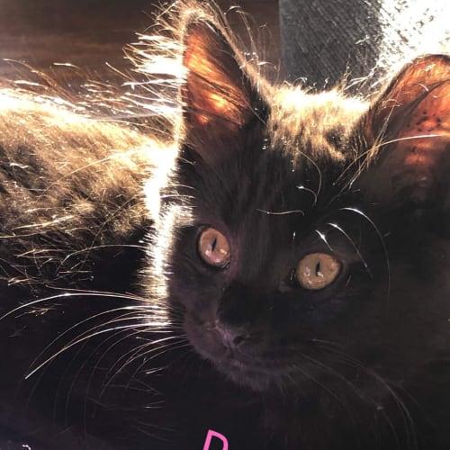 Panther - Domestic Medium Hair Cat