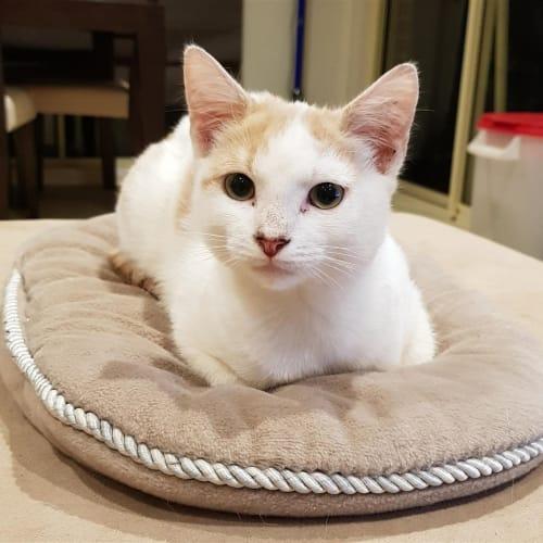 Caramel - Domestic Short Hair Cat