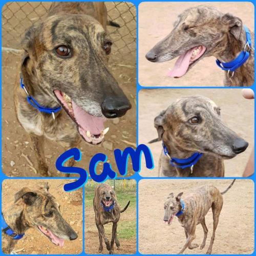 Sam - Greyhound Dog