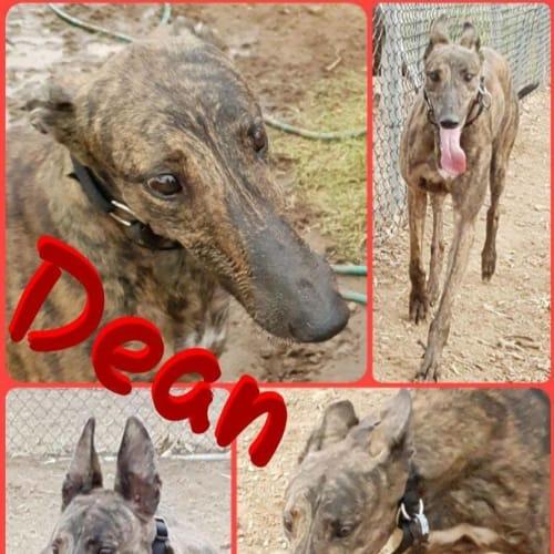 Dean - Greyhound Dog