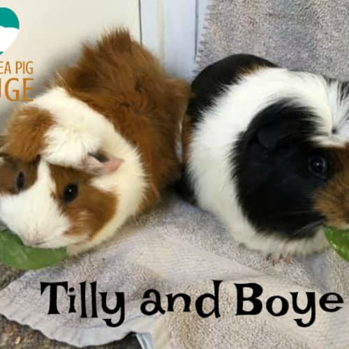 Tilly and Boye (desexed male) - Abyssinian x Crested Guinea Pig