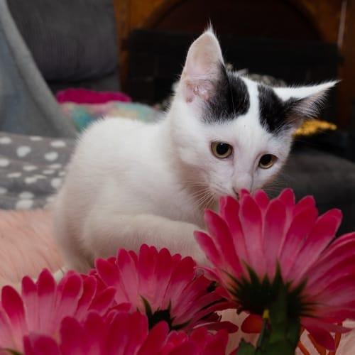 1076 - Sour Cream - Domestic Short Hair Cat