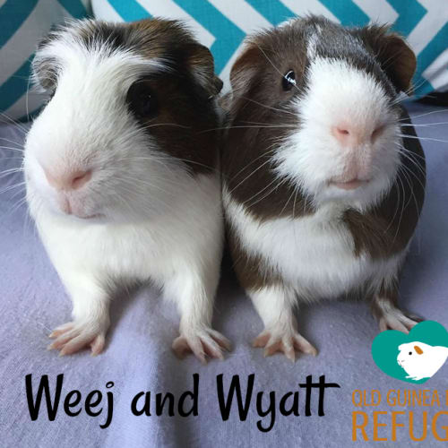 Weej and Wyatt - Crested x Smooth Hair Guinea Pig
