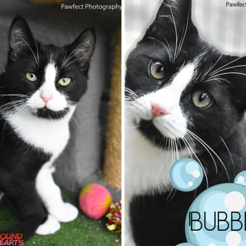 Bubbles - Domestic Short Hair Cat