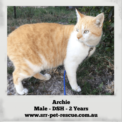 Archie - Domestic Short Hair Cat
