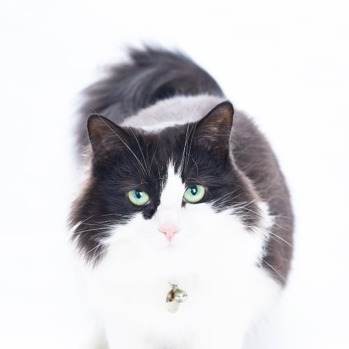 Fifi the Grand - Domestic Medium Hair Cat