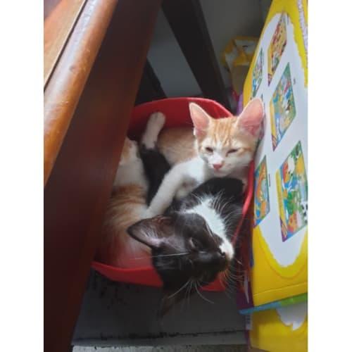Pie - Domestic Short Hair Cat