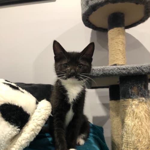 Pebbles - Domestic Medium Hair Cat
