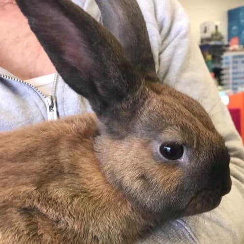 Pikelet - Dwarf Rabbit