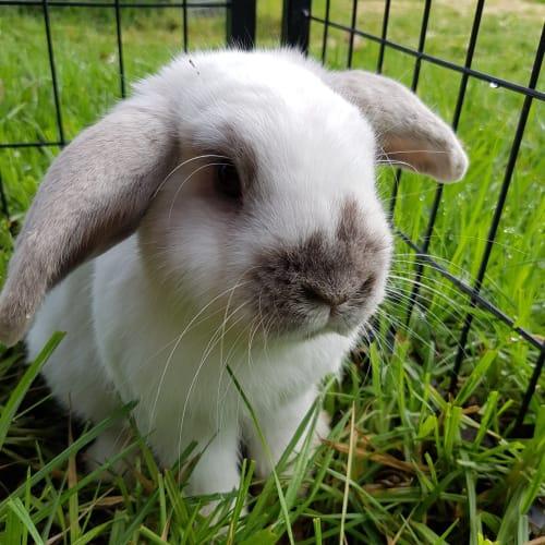 Buckey - Dwarf lop Rabbit