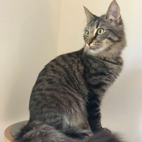 Laurel (Located in Murrumbeena) - Domestic Medium Hair Cat