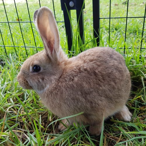 Indiana - Domestic Rabbit