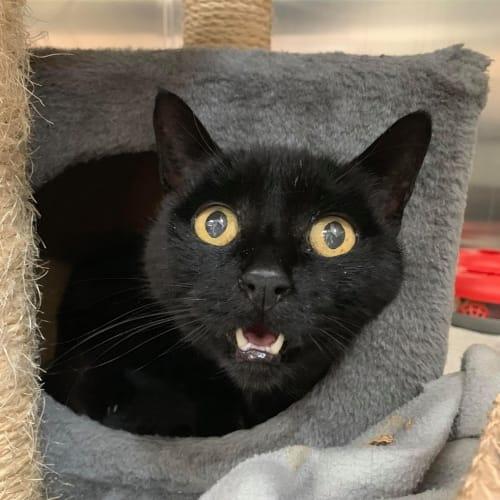 Tom - Domestic Short Hair Cat