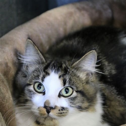 Elias - Domestic Medium Hair Cat