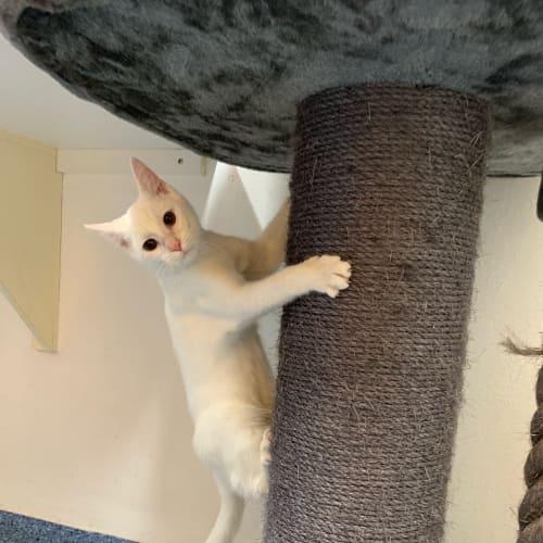 Tofu  - Domestic Short Hair Cat