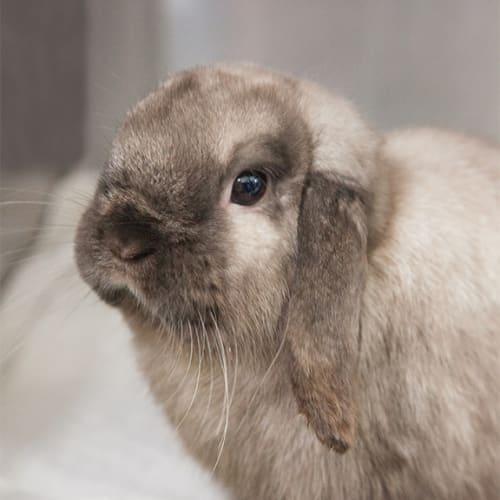 Cloud - English Lop Rabbit