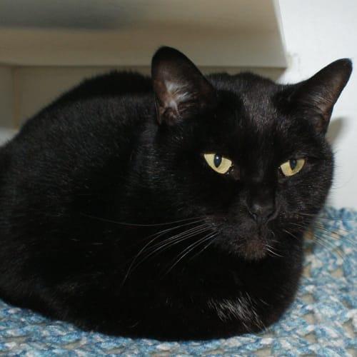 Macey May sua004012 - Domestic Short Hair Cat