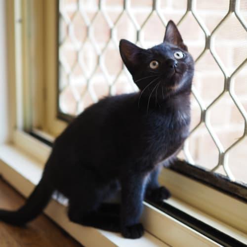 Peter Pan  - Domestic Short Hair Cat