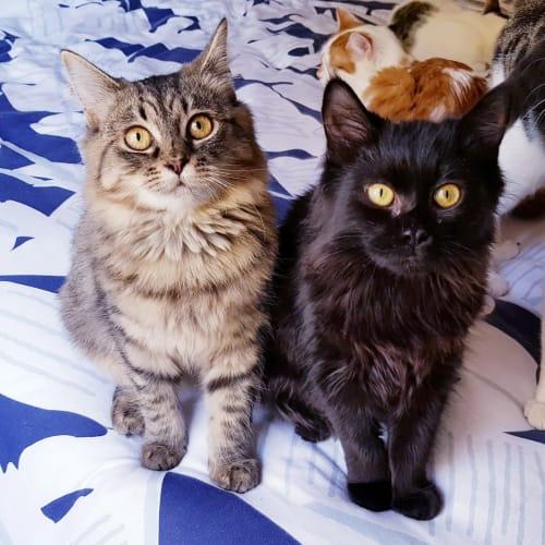 Miley & Paige (Located in Beaumaris) - Domestic Medium Hair Cat