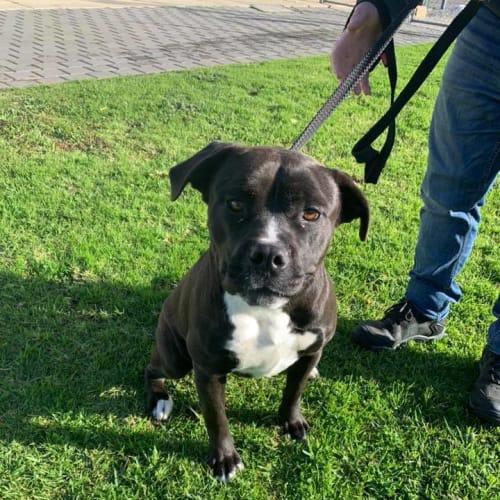 Ruby - Amstaff Dog