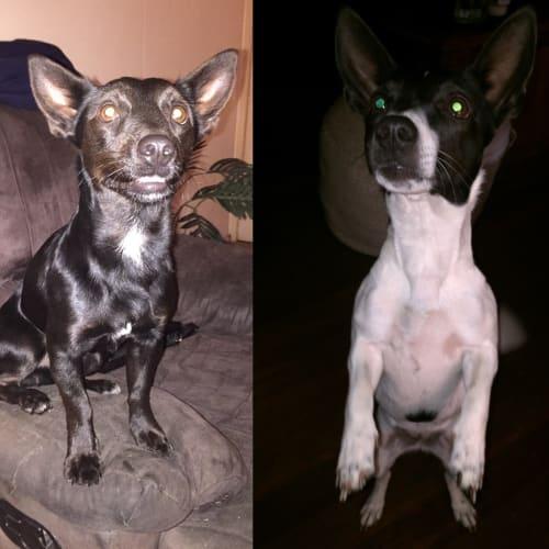 Hulk & Gypsy - Miniature Fox Terrier Dog