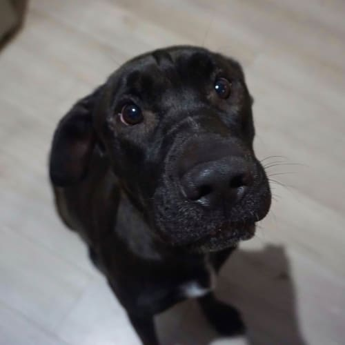Zeeva - Shar-Pei x Staffordshire Bull Terrier Dog