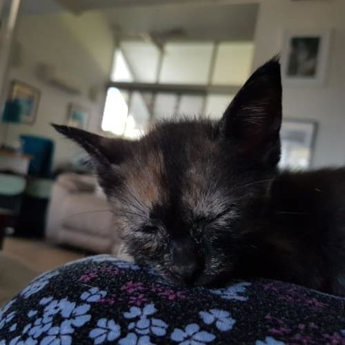 Harper - Domestic Short Hair Cat