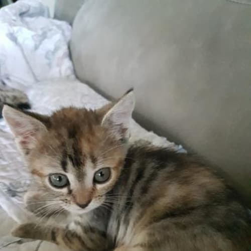 Hollie - Domestic Short Hair Cat