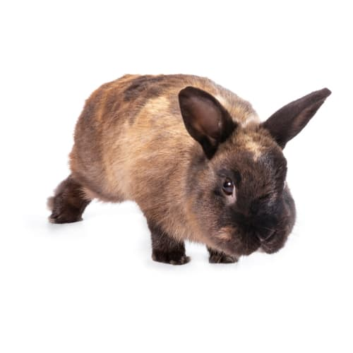Lindt - Rex Rabbit