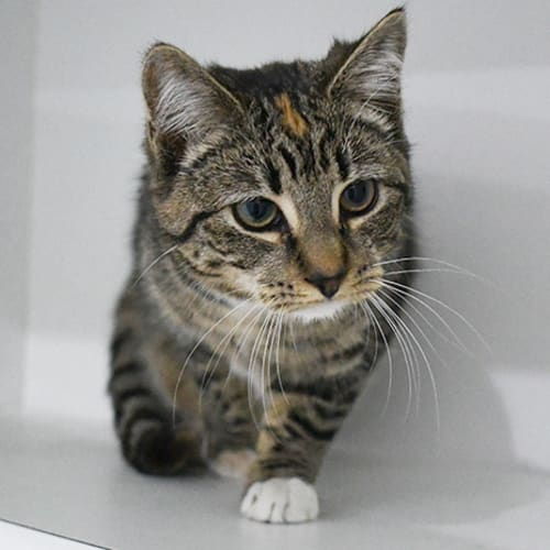 Lottie - Domestic Short Hair Cat