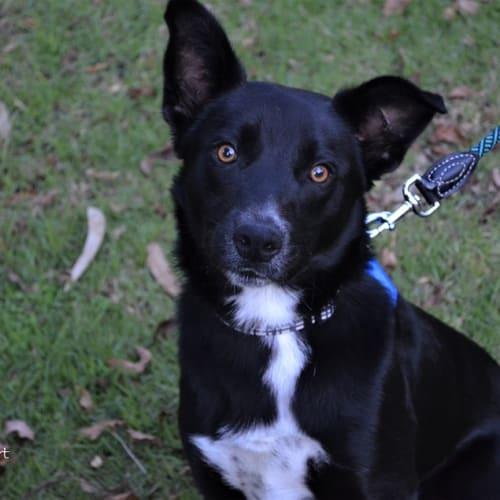 Scout   - Kelpie x Border Collie Dog